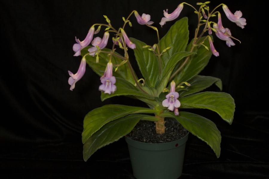 2019 Convention <br>Old World Gesneriads in Flower  <br>Class 24 – <i>Primulina</i> cultivars <br>BEST JOHN BOGGAN HYBRID