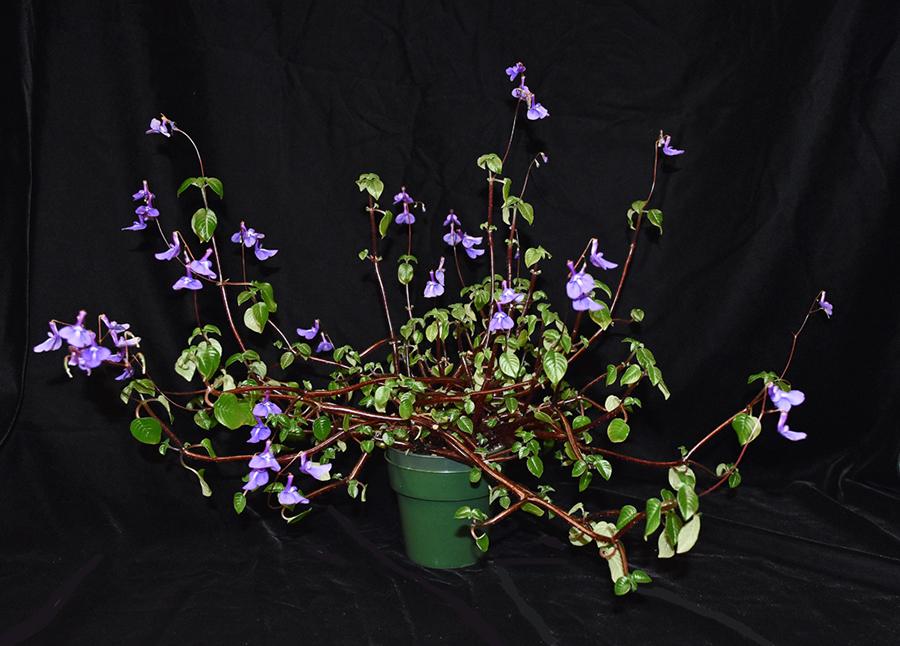 2019 Convention <br>Old World Gesneriads in Flower  <br>Class 25 – <i>Streptocarpus</i>, subgenus <i>Streptocarpella</i>