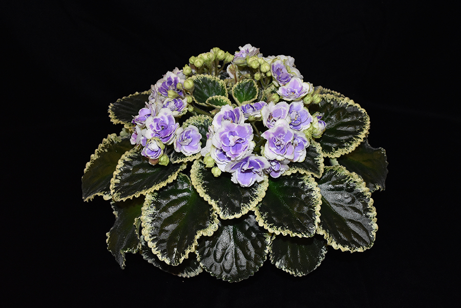 2019 Convention <br>Old World Gesneriads in Flower  <br>Class 29B – Sect. <i>Saintpaulia</i> standard cultivars variegated foliage (lavender flowers) <br>BEST SAINTPAULIA HYBRID