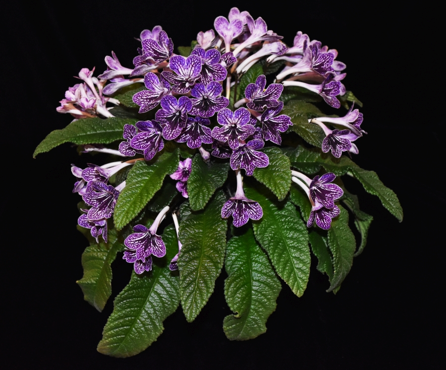 2019 Convention <br>Old World Gesneriads in Flower  <br>Class 32B – <i>Streptocarpus</i>, subgenus <i>Streptocarpus</i>, hybrids (netted) <br>RUNNER-UP TO BEST IN HORTICULTURE <br>BEST STREPTOCARPUS, BEST GESNERIAD GROWN BY A FIRST-TIME CONVENTION EXHIBITOR
