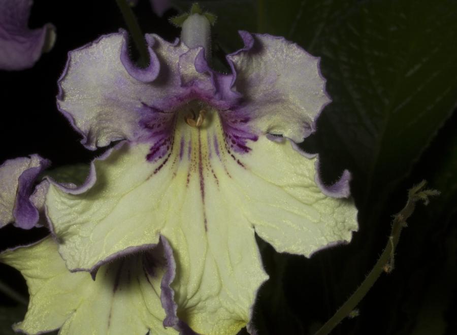 2019 Convention <br>Old World Gesneriads in Flower  <br>Class 32C – <i>Streptocarpus</i>, subgenus <i>Streptocarpus</i>, cultivars (bi-color)