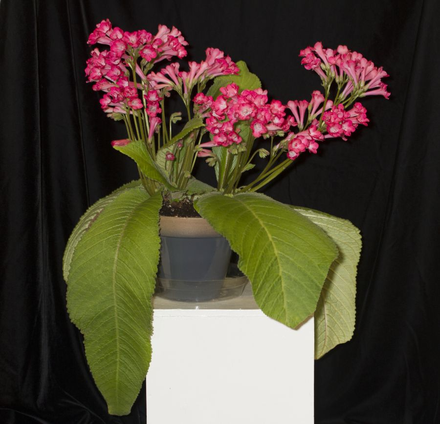 2019 Convention <br>Old World Gesneriads in Flower  <br>Class 32E – <i>Streptocarpus</i>, subgenus <i>Streptocarpus</i>, cultivars (pinks) <br>BEST IN SECTION D – OLD WORLD GESNERIAD IN FLOWER