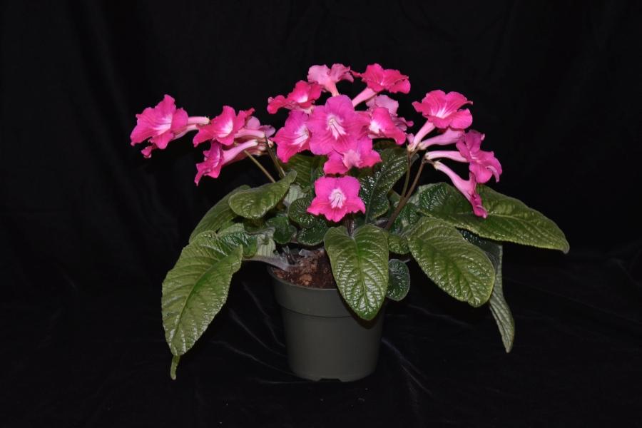 2019 Convention <br>Old World Gesneriads in Flower  <br>Class 32E – <i>Streptocarpus</i>, subgenus <i>Streptocarpus</i>, cultivars (pinks)