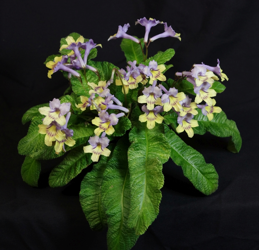 2019 Convention <br>Old World Gesneriads in Flower  <br>Class 33 – <i>Streptocarpus</i>, subgenus <i>Streptocarpus</i>, cultivars with variegated foliage <br>BEST RECENTLY REGISTERED