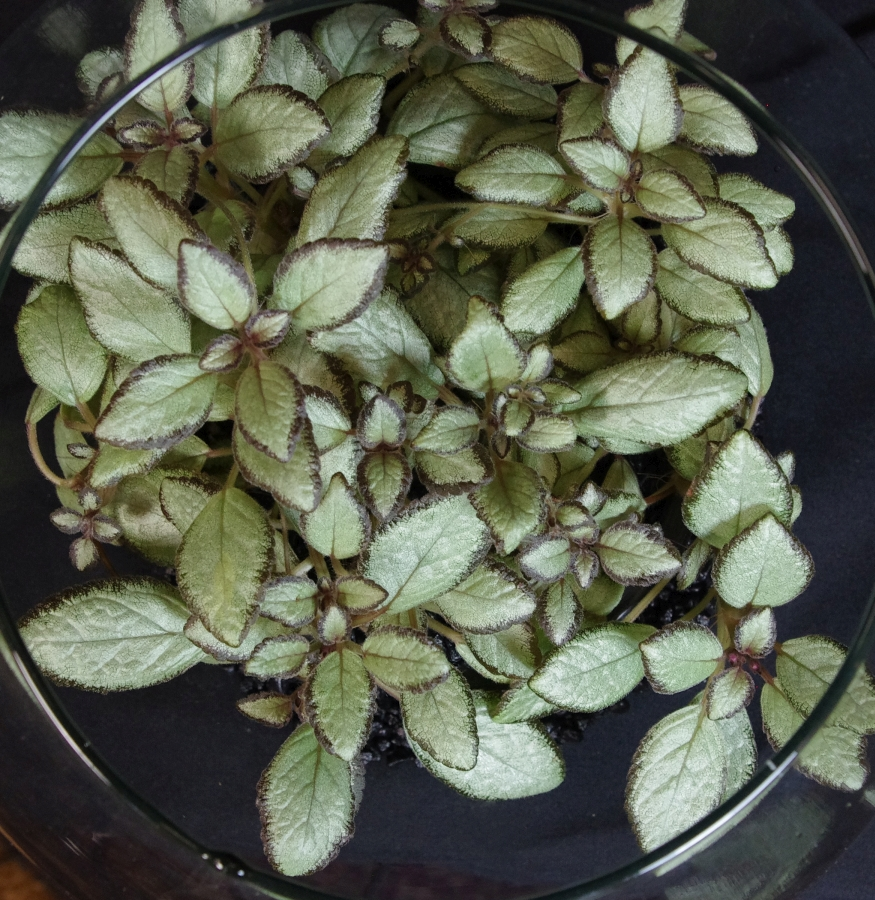 2019 Convention <br>Gesneriads Grown for Ornamental Qualities Other Than Flowers  <br>Class 35 – Episcia
