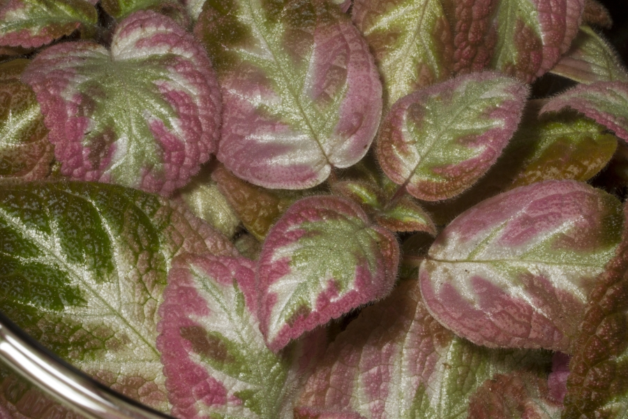 2019 Convention <br>Gesneriads Grown for Ornamental Qualities Other Than Flowers  <br>Class 36 – Episcia with pink, white and/or cream leaf variegation <br>BEST EPISCIA